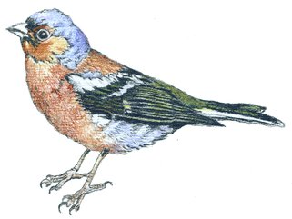 Chaffinch Image.